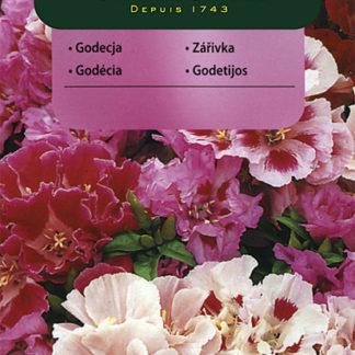 Zářivka velkokvětá - směs (Vilmorin)