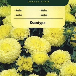 Astra čínská trpaslík Ksantypa - žlutá (Vilmorin)