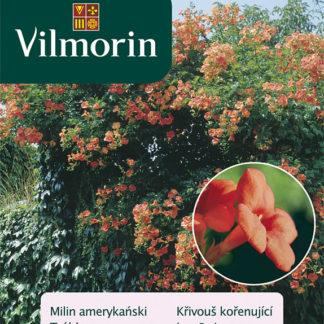 Křivouš kořenující (Vilmorin)
