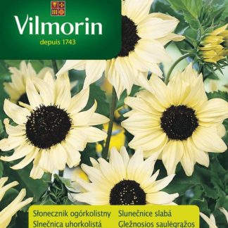 Slunečnice slabá Vanille Ice - krémová (Vilmorin)