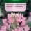Luštěnice trnitá (kleoma)