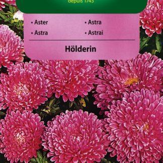 Astra čínská trpaslík Hölderin - růžová (Vilmorin)