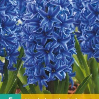 Hyacint Blue Jacket (5 cibulí, modrý, karta)