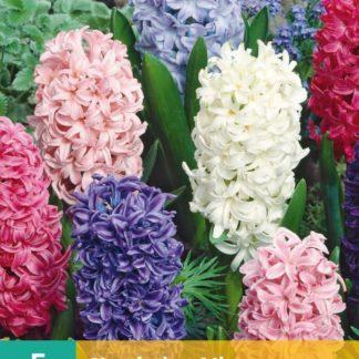 Hyacint Mix (5 cibulí, směs, karta)