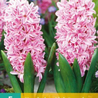 Hyacint Pink Surprise (5 cibulí, růžový, karta)