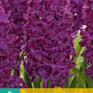 Hyacint Woodstock (5 cibulí, fialový, karta)