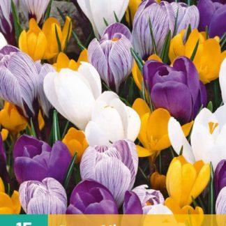 Krokus Large Flowering Mix (15 cibulí, směs, karta)