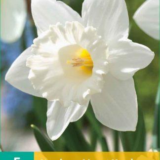 Narcis Mount Hood (5 cibulí, bílý, karta)
