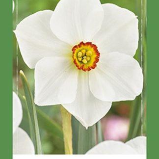 Narcis Recurvus (30 cibulí, bílý, XXL síťka)