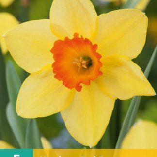 Narcis Red Devon (5 cibulí, žlutý, karta)