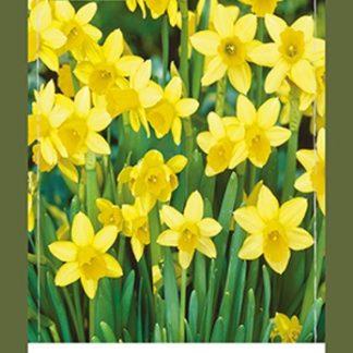 Narcis Tête-à-Tête (50 cibulí, žlutý, XXL síťka)