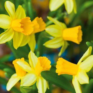 Narcis Tête-à-Tête (žlutý)