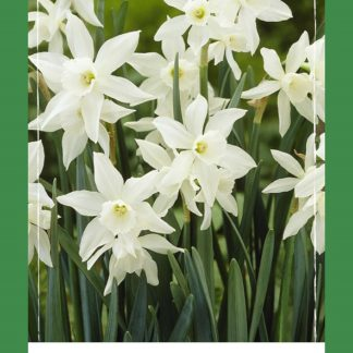 Narcis Triandrus Thalia (40 cibulí, bílý, XXL síťka)