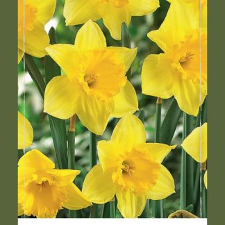 Narcis Yellow (40 cibulí, žlutý, XXL síťka)