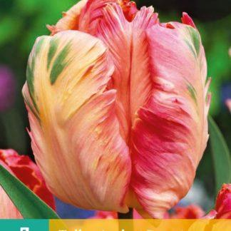 Tulipán Apricot Parrot (7 cibulí, oranžový, karta)