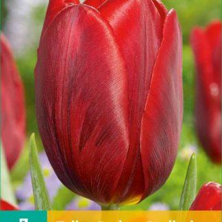 Tulipán Couleur Cardinal (7 cibulí, červený, karta)