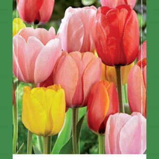 Tulipán Darwin Mix (50 cibulí, směs, XXL síťka)