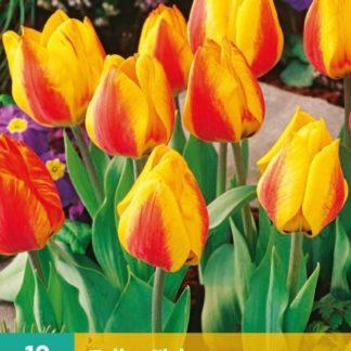 Tulipán Flair (10 cibulí, žluto-oranžový, karta)