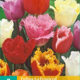 Tulipán Fringed Mix (7 cibulí, směs, karta)