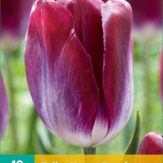 Tulipán Kansas Proud (10 cibulí, fialový, karta)