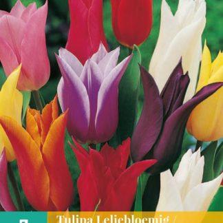 Tulipán Lily Flowering Mix (7 cibulí, směs, karta)