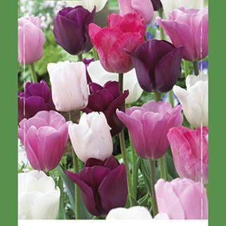 Tulipán Pastel Mix (40 cibulí, směs, XXL síťka)