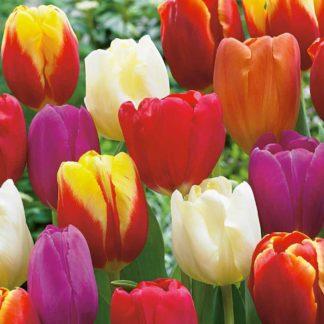 Tulipán Triumph Mix (směs)
