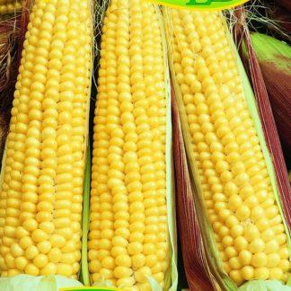 Kukuřice pukancová Simona F1 - na popcorn (Zelseed)