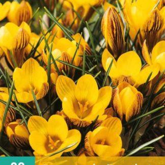Krokus zlatokvětý (20 cibulí, žlutý, karta)