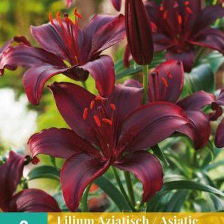 Lilie asijská Black (2 cibule, černá, karta)
