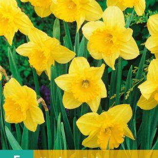 Narcis Carlton (5 cibulí, žlutý, karta)