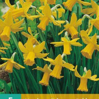 Narcis February Gold (5 cibulí, žlutý, karta)