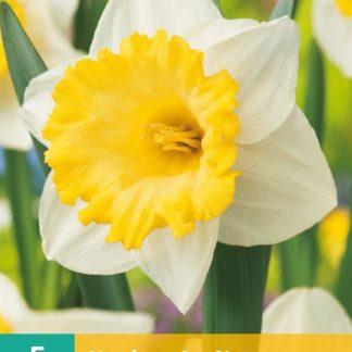 Narcis Las Vegas (5 cibulí, žluto-bílý, karta)