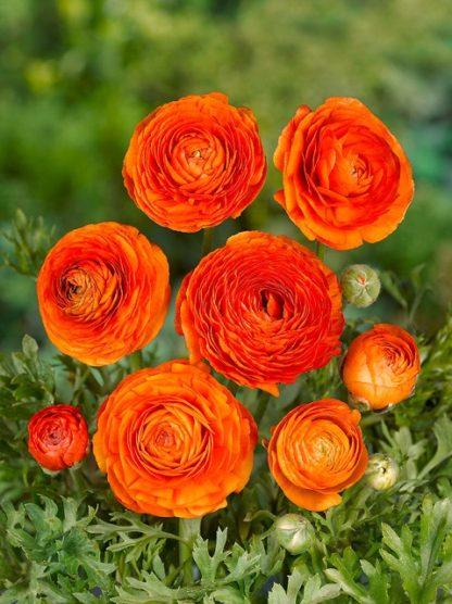 Pryskyřník plnokvětý Orange (10 cibulí, oranžový)