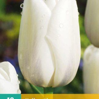 Tulipán Clearwater (10 cibulí, bílý, karta)