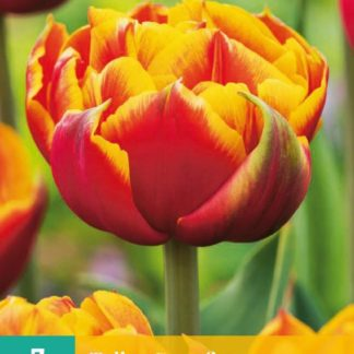 Tulipán Crossfire (7 cibulí, žluto-červený, karta)