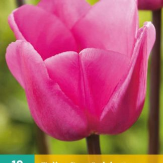 Tulipán Don Quichotte (10 cibulí, růžový, karta)