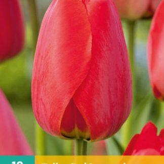 Tulipán Red Impression (10 cibulí, červený, karta)