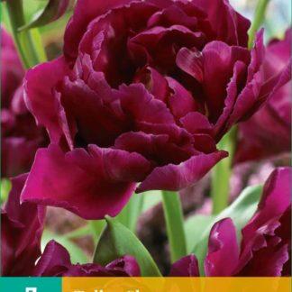 Tulipán Showcase (7 cibulí, fialový, karta)