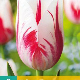 Tulipán Sorbet (7 cibulí, červeno-bílý, karta)