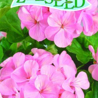 Pelargonie páskatá (muškát) F1 - růžová (Zelseed)