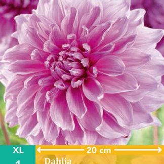 Jiřina velkokvětá Lavender Perfection (1 hlíza, ka