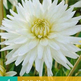 Jiřina semi-kaktusová My Love (1 hlíza, karta)
