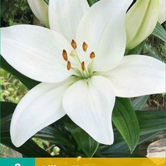 Lilie asijská Kent (2 cibule, bílá, karta)