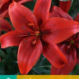 Lilie asijská Red County (2 cibule, karta)