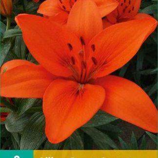 Lilie asijská Orange Summer (2 cibule, karta)