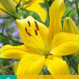 Lilie asijská Yellow County (2 cibule, žlutá, karta)