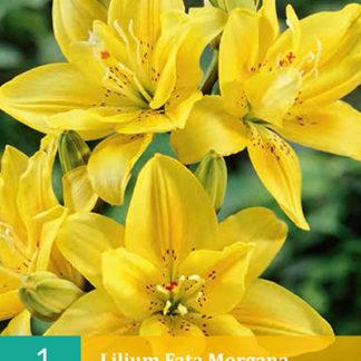 Lilie asijská plnokvětá Fata Morgana (1 cibule, žlutá, karta)