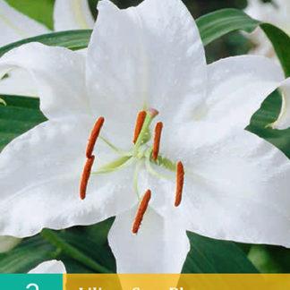 Lilie orientální Casa Blanca (2 cibule, bílá, karta)