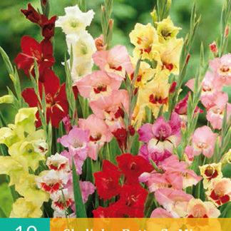 Mečík (gladiola) Butterfly Mix (10 cibulí, směs, karta)